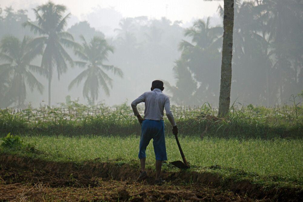 Reisbauer im Morgengrauen