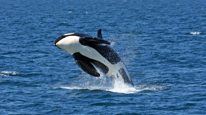 Walbeobachtung vor Hokkaido © Diamir