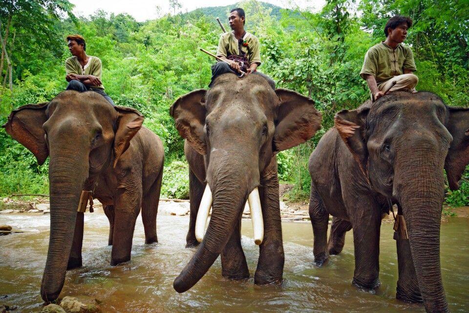 Elefanten mit ihren Mahouts in Myanmar