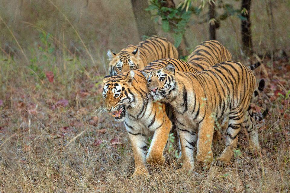 Bengal-Tiger