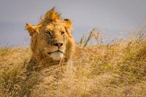 Junges Löwenmännchen in der Masai Mara