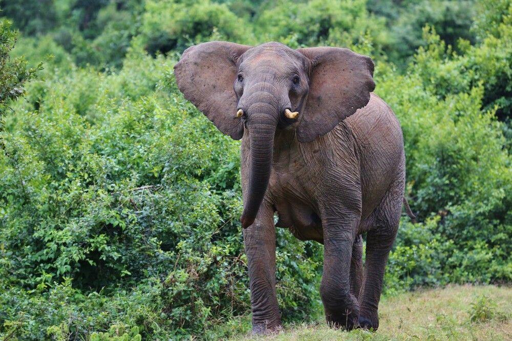 Waldelefanten im dichten Busch des Aberdare NP