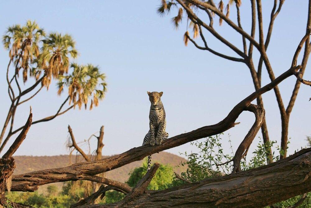 Leopard beim Posen