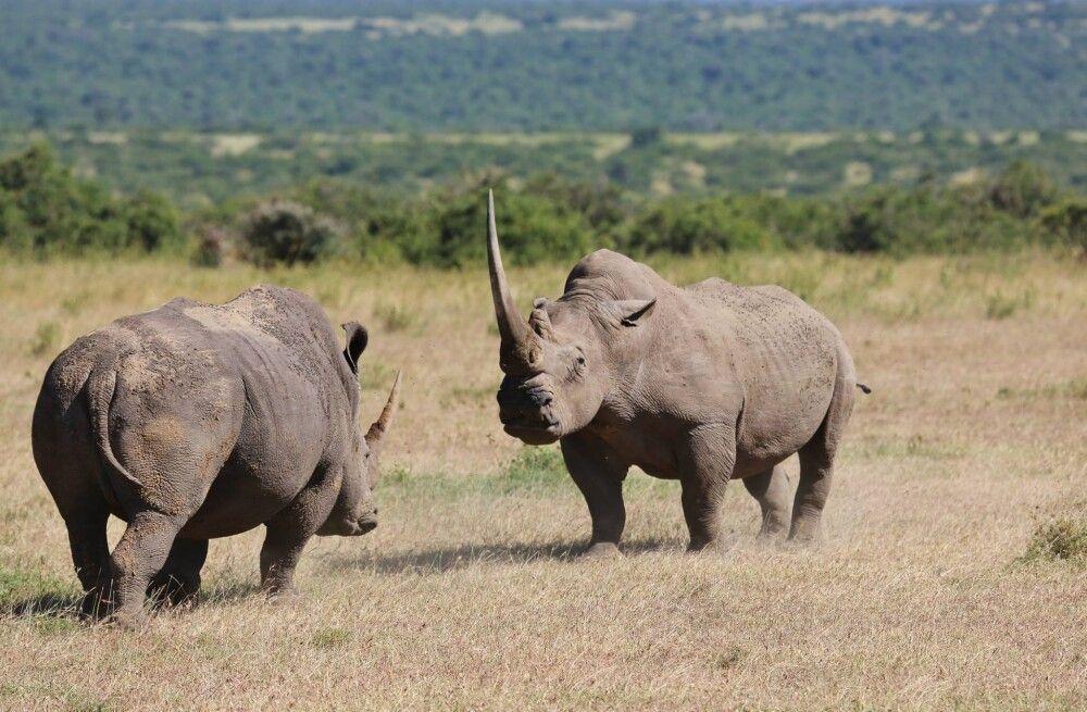 Nashörner im Solio Reservat