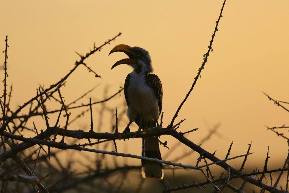 Hornbill im Morgengrauen