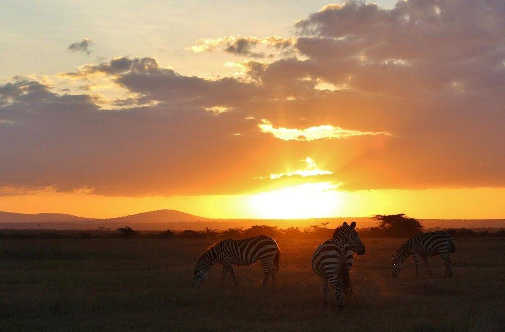 Grevy's Zebra im Abendlicht