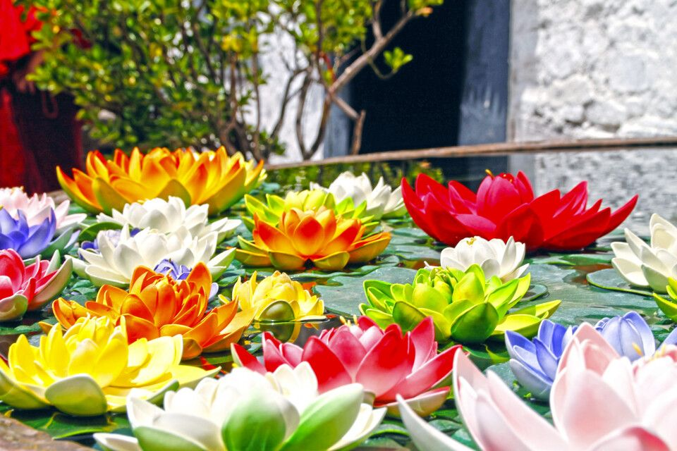 Lotusblüten in Lhasa