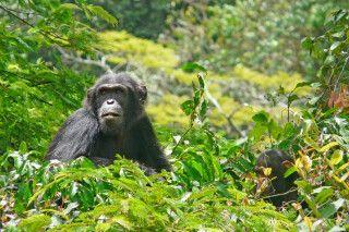 Schimpansen im Gombe-Forest-Nationalpark
