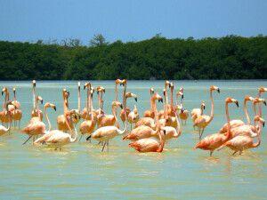 Filigrane Flamingos in Celestun