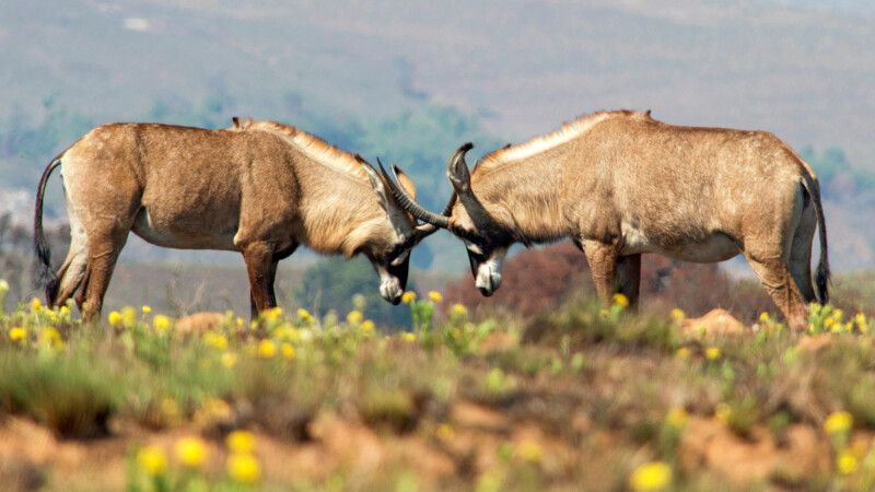 Roan-Antilope im Nyika Nationalpark © Diamir