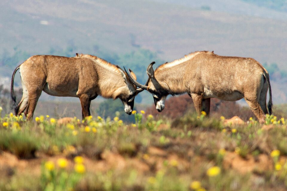 Roan-Antilope im Nyika Nationalpark