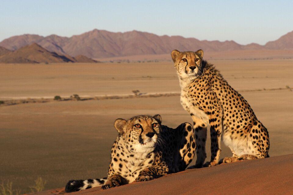 Gepard in der Wüste