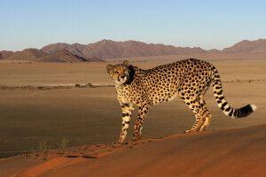 Auf Du und Du mit den Geparden in der Wüste