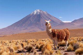 Lama posiert vor dem Licancabur