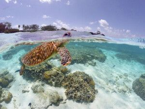 Schildkröte im Great Barrier Reef