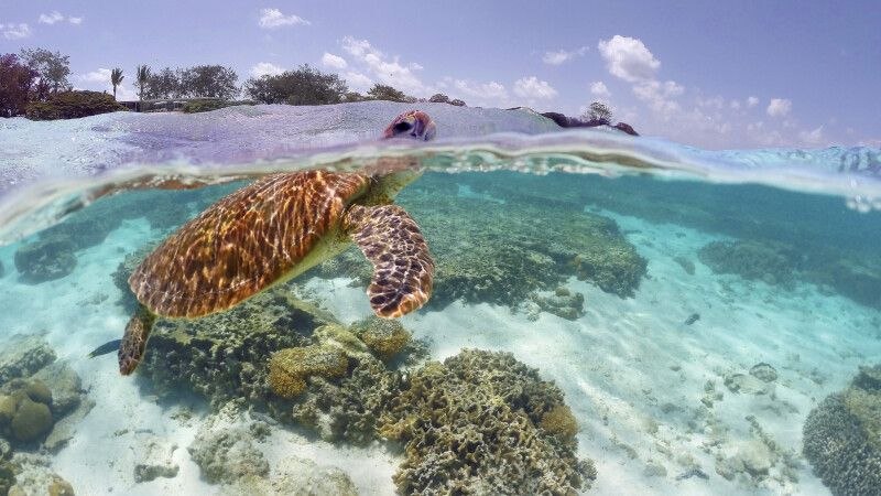Schildkröte im Great Barrier Reef © Diamir