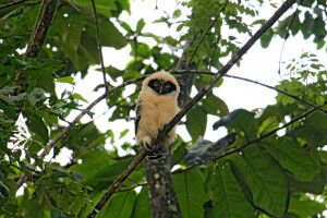 Costa Rica - junger Brillenkauz