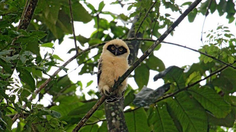 Costa Rica – junger Brillenkauz © Diamir