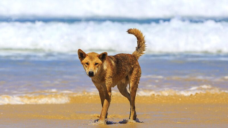 Hund am Strand in Queensland © Diamir