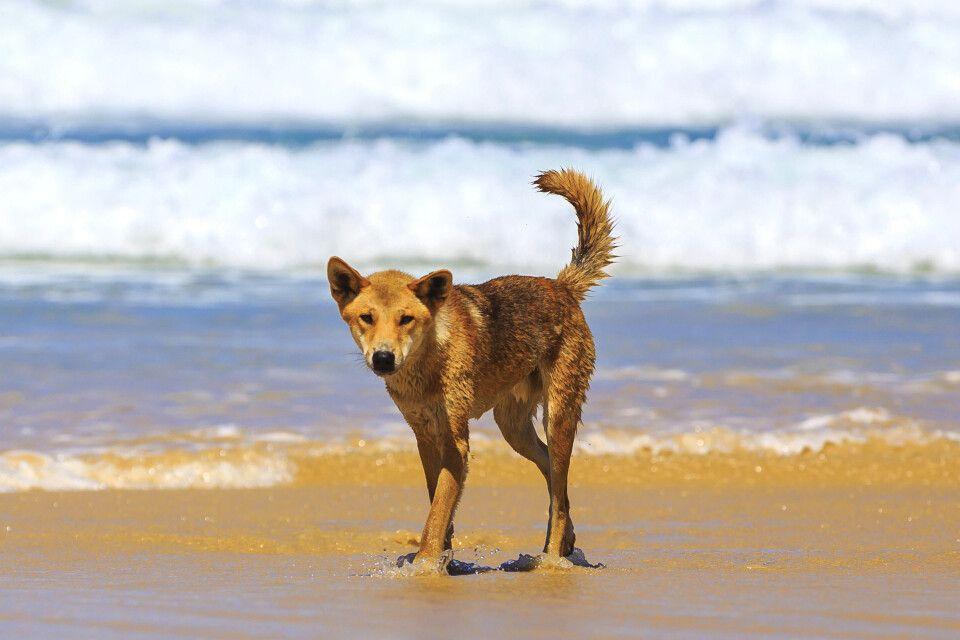 Hund am Strand in Queensland