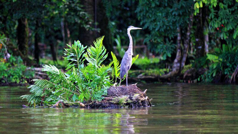 Fischreiher im Nationalpark Tortuguero © Diamir