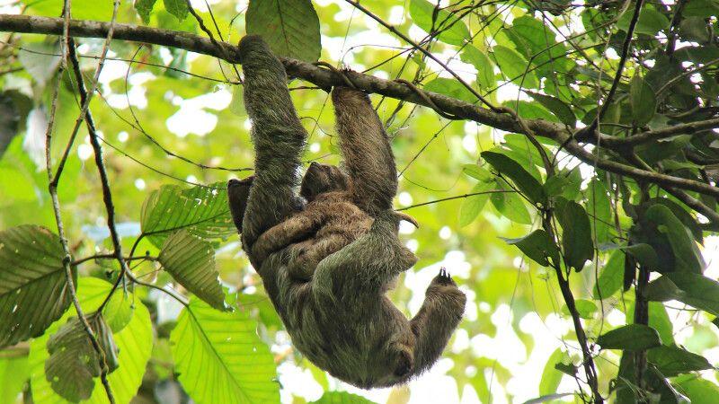Costa Rica – Faultier © Diamir
