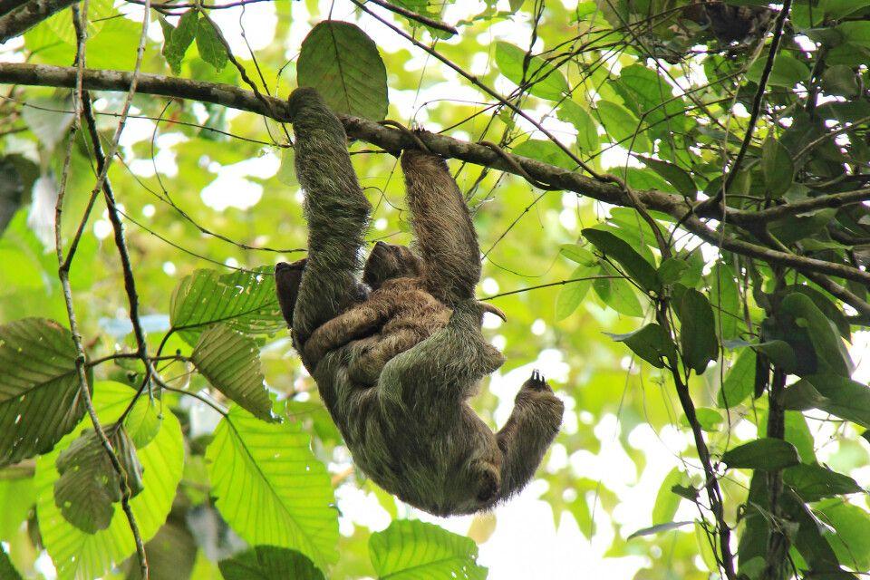 Costa Rica – Faultier