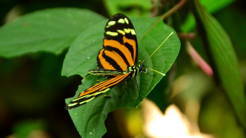 Costa Rica – Schmetterling © Diamir