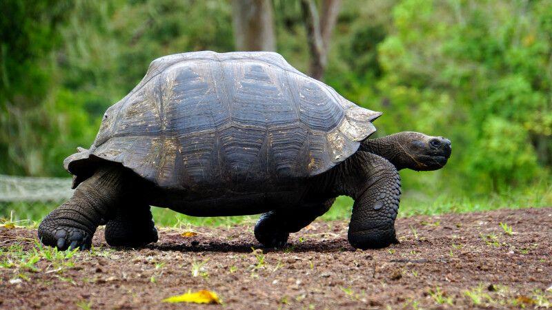 Riesenschildkröte auf den Galapagosinseln © Diamir