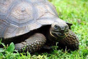 Galapagos Riesenschildkröte im Nahblick