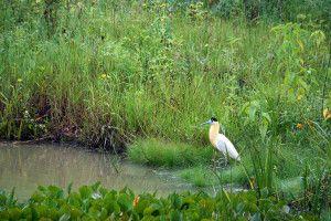 Majestätischer Kappenreiher im Pantanal