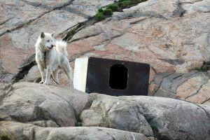 Schlittenhunde sieht man im Norden Grönlands überall