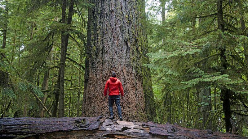 Wanderer bewundert Riesenbäume, Cathedral Grove, Vancouver Island © Diamir