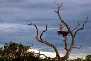Jabiru-Störche im Nest