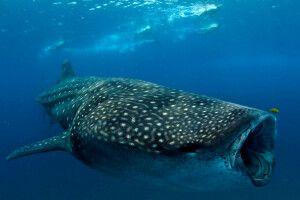 Schnorcheln mit Walhai vor Inhambane