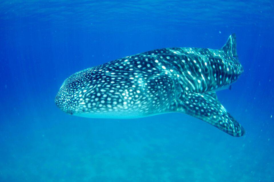 Walhai vor Tofo