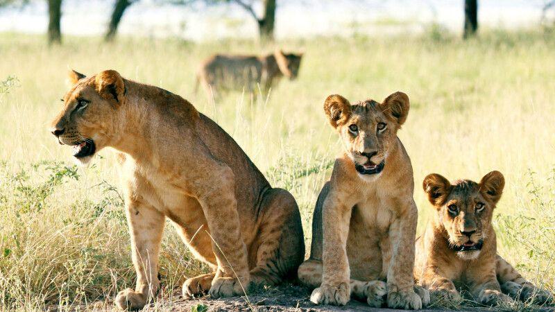 Löwen im Gorongosa-Nationalpark © Diamir