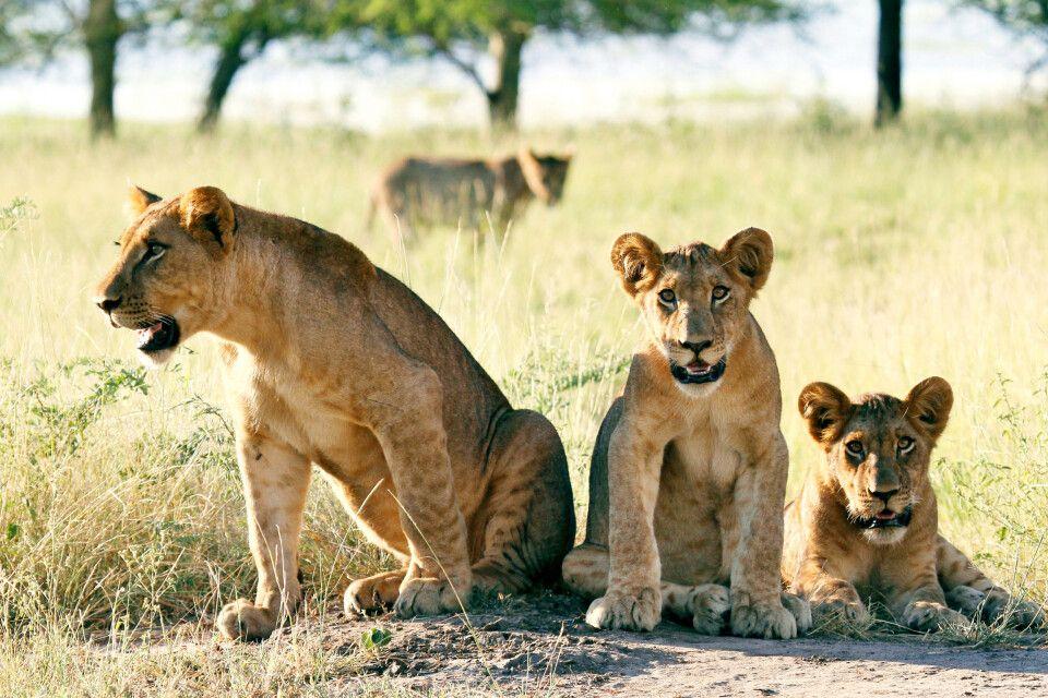 Löwen im Gorongosa-Nationalpark