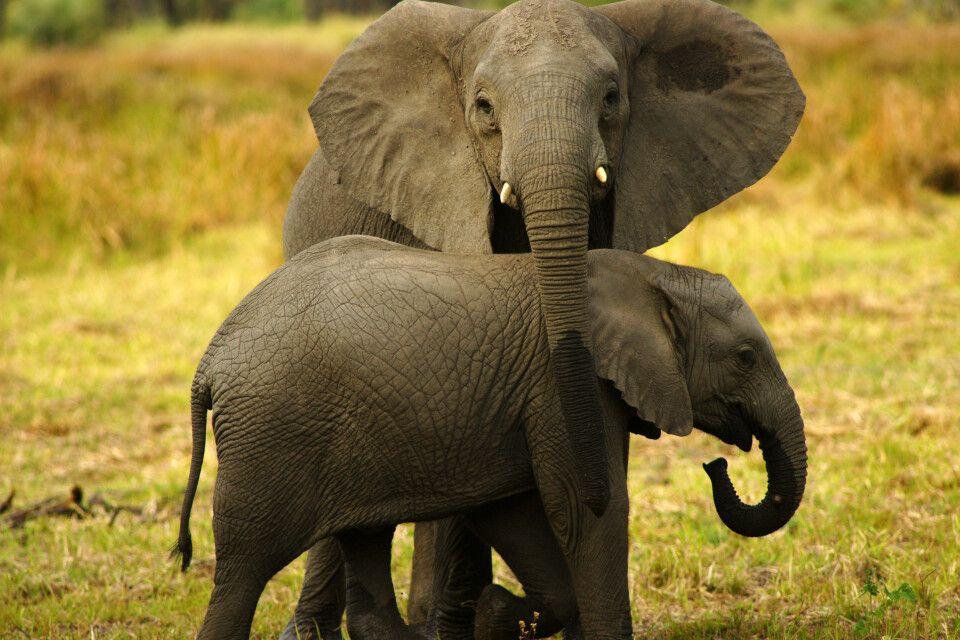 Elefantenmutter mit Jungtier im Gorongosa-Nationalpark