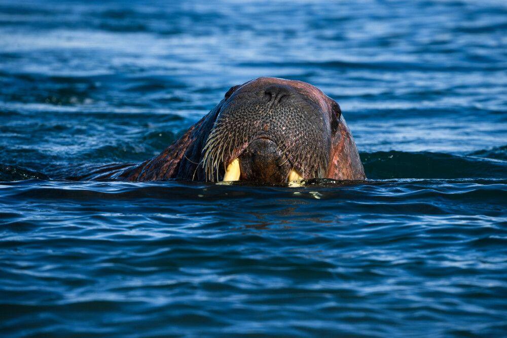 Walross bei Poolepynten