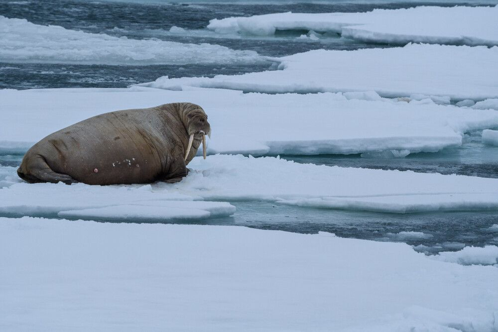 Walrosse ruhen gern auf Eisschollen