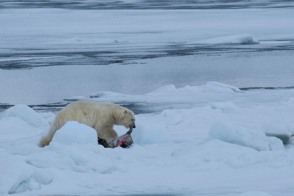Seltenes Glück: Eisbär mit frischem Fang