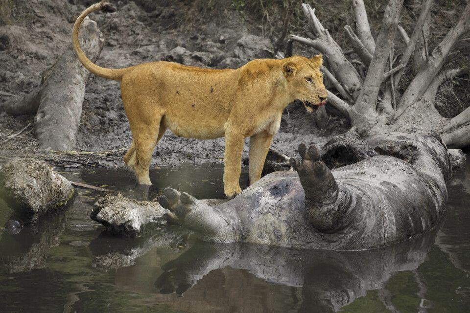 Löwin vor totem Flusspferd
