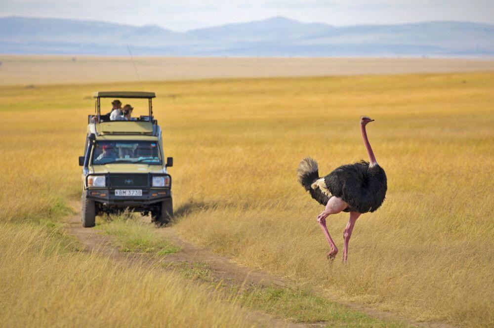 Strauß in der Masai Mara