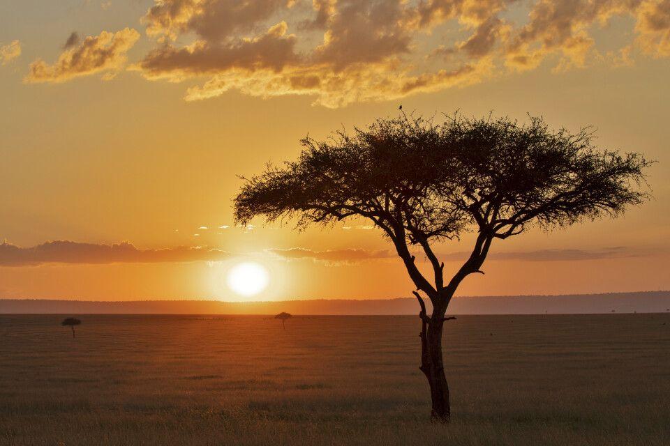 Schirmakazie vor afrikanischem Sonnenuntergang