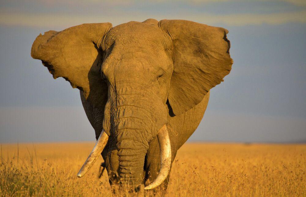 Elefant in der Masai Mara
