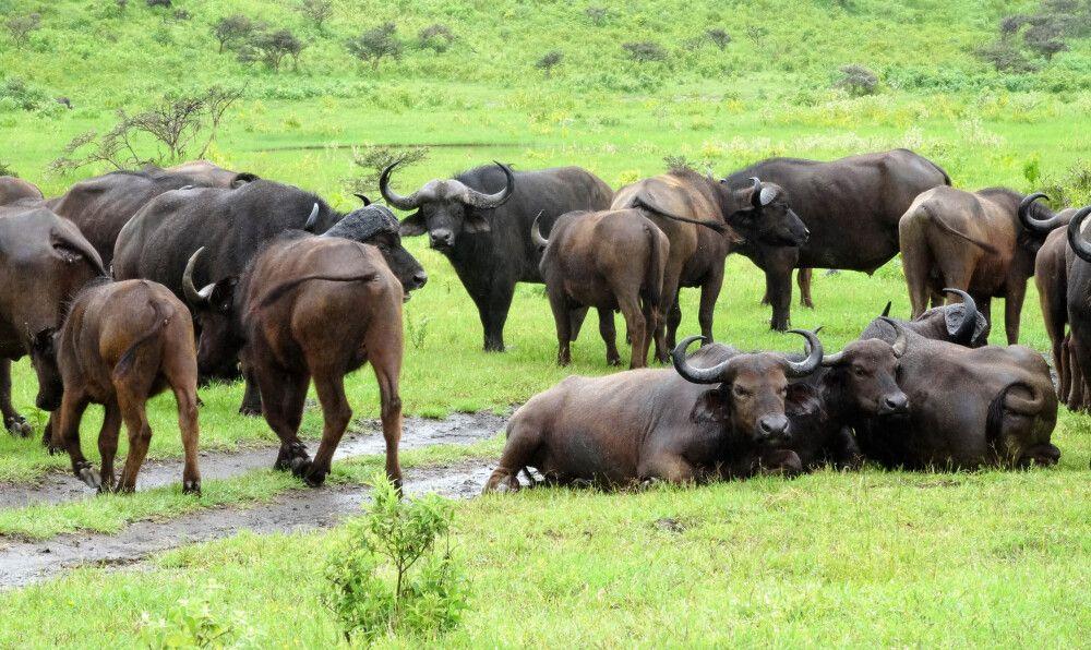 Büffelherde im Arusha Nationalpark