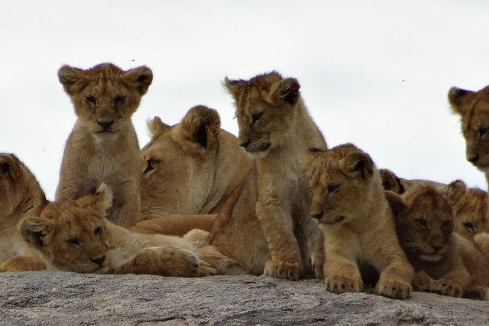 Löwen-Kindergarten in der Serengeti