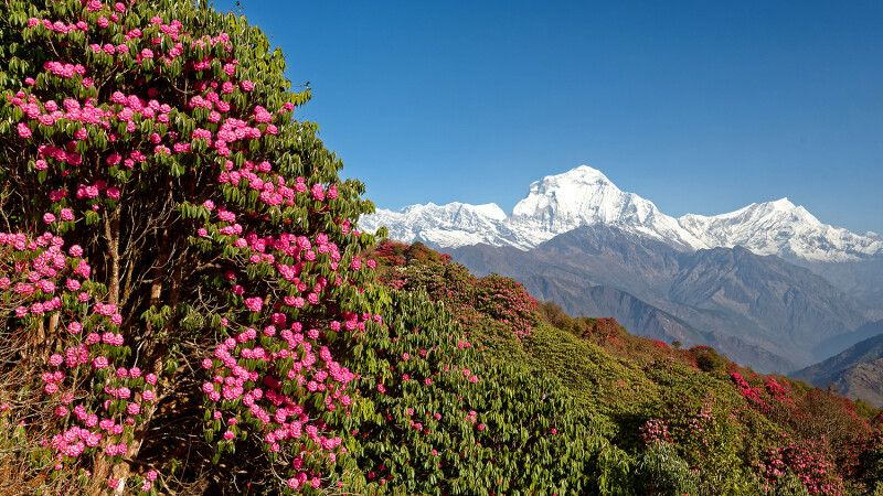 Rhododendronblüte am Aussichtsberg Poon Hill © Diamir
