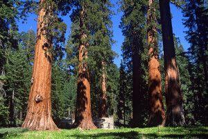 Mariposa Grove mit Sequoia-Bäumen, Yosemite-Nationalpark, Kalifornien